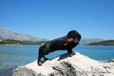 Top dog friendly beaches in Croatia Small Pine Trees, Shade Tent, Dog Shower, Dog Friends, Beaches, Water, Dogs, Animals, Croatia