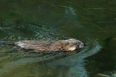 | Ondatra zibethicus ( 50m nage libre) | Le rat musqué (Ondatra zibethicus) est un rongeur de la famille des muridés de 30 à 40 cm de long, pesant jusqu'à 1,5 kg (sec). Il est réputé pouvoir vivre une dizaine d'années en captivité, mais il ne dépasse que rarement 3 ou 4 ans dans la nature. Excellent nageur, il peut parcourir près de 100 m sans respirer sous l'eau ou y rester submergé et immobile plus de 15 minutes s'il se sent menacé.