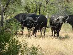 African buffalo, Kruger National Park, South Africa