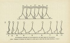 SUCCESSIVE PHASES OF MOVEMENTS OF THE LEGS IN WALKING
