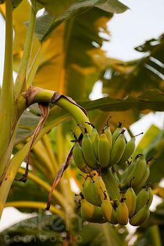Banana tree | Kandal Province, Cambodia