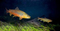 brown trout Patagonia