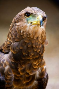 Golden Eagle by Martin Wheeler on Different Birds, Kinds Of Birds, Love Birds, Beautiful Birds, Animals Beautiful, Birds Pics, Owl Bird, Pet Birds, Eagles
