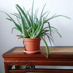 Aloe, Planter Pots, Flowers, Royal Icing Flowers, Flower, Florals, Floral, Aloe Vera, Blossoms