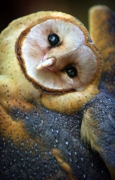 Barn owl close up, with head cocked.