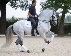 Gorgeous Andalusian stallion...