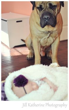 newborn girl photo shoot with bull mastiff guard dog watching over sleeping baby...... What a picture like this