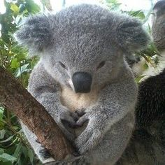 And this guy feeling the love. | The 29 Cutest Koalas That Ever Roamed The Earth
