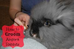 Grooming your Angora rabbit is one of the most important things you can do to keep her healthy.  Find out how to make it enjoyable for you both!
