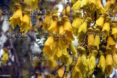 After the Rain - Vintage-Style Kōwhai Flower New Zealand native Kōwhai Flowers After the Rain. Best known for their brilliant yellow flowers that appear in profusion in Spring, Kōwhai are small woody legume trees within the genus Sophora that are native to New Zealand. This image his a Vintage-Style Kowhai in soft focus. Flower Stock Photo Abstract Images, Abstract Backgrounds, Vintage Style, Vintage Fashion, Photo Composition, Video Image, Flower Photos, Feature Film, Photo Illustration
