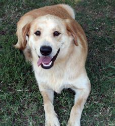 Samantha is an adoptable Great Pyrenees Dog in Marblehead, MA. Samantha is an 11 month old yellow lab/Great Pyrenees dog. This girl came in to rescue as an owner surrenders. Samantha s a friendly dog ...
