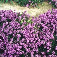 Vijver en Tuincentrum Pelckmans: Thymus serpyllum 'Coccineus'