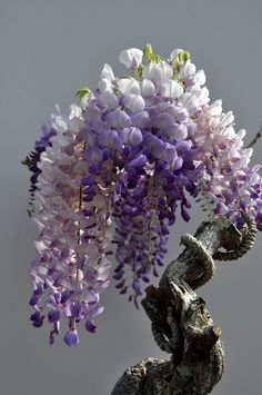 Ancient wisteria bonsai, This is so beautiful. I love Wisteria. Will need to learn how to make a bonsai Wisteria. Wisteria Bonsai, Bonsai Plants, Bonsai Garden, Bonsai Trees, Flowering Bonsai Tree, Potted Plants, Ikebana, Plantas Bonsai, Chinese Wisteria