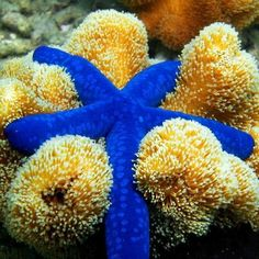 Estrella azul y coral