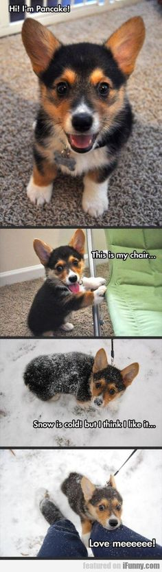 Funny pictures about Pancake the happiest corgi. Oh, and cool pics about Pancake the happiest corgi. Also, Pancake the happiest corgi. Cute Animal Memes, Animal Jokes, Cute Funny Animals, Funny Animal Pictures, Funny Cute, Hilarious, Funny Dog Memes, Funny Dogs, Cute Puppies