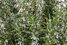 Rosemary Plant Care Guide Botanical name: Rosmarinus officinalis Plant type: Herb USDA Hardiness Zones: 9 Sun exposure: Full Sun Soil type: Sandy, Loamy Rosemary is a perennial evergreen s. Rosemary Plant, Grow Rosemary, Rosemary Flower, Growing Raspberries, Mosquito Repelling Plants, Edible Plants, Medicinal Herbs, Plant Care, Herbs