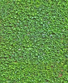 ivy wall seamless texture                                                       …