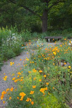 Eschscholzia californica, The California poppy lines a path above the Pond Arbor.