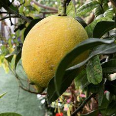 #MyDubai #dubaiart #dubai #fadiradi #summer_time #gardenlove #gardenmagic #gardendesign #diygarden #diygardendesign #Mudon_Villas #Mudon #dp #dubaistyle #lemon #dubailemon #dubai_lemon