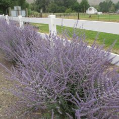 Perovskia Atriplicifolia: Popular For Its Tall Wispy Wands Of Lavender Flowers