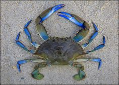 Blue Crab. Ok I hate to admit....one of my favorite eats. Guilt.