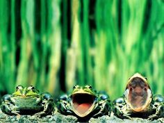 Laughing frogs