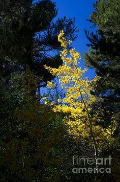 A beautiful tree in fall regalia, framed by the darker evergreens.