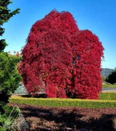Acer palmatum dissectum 'Inaba Shidare' Weeping Cutleaf Japanese Maple from Neil Vanderkruk Holdings Inc. Trees And Shrubs, Trees To Plant, Weeping Trees, Japan Garden, Acer Palmatum, Hardy Perennials, Flora, Maple Tree, Japanese Maple