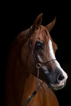 There's nothing more beautiful than an Arabian horse!