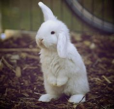 Share your cute animal pictures with us? Cute Baby Bunnies, Cute Baby Animals, Animals And Pets, Funny Animals, Nature Animals, Mini Lop, Beautiful Creatures, Animals Beautiful, White Rabbits