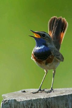 Bluethroat (luscinia svecica). A small, brightly colored bird of the far north, the Bluethroat is found in North America.Luscinia svecica ORDER: PASSERIFORMES FAMILY: MUSCICAPIDAE.