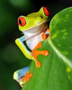 Viaje Costa Rica. Rana arbórea de ojos verdes rojo en hoja de plátano