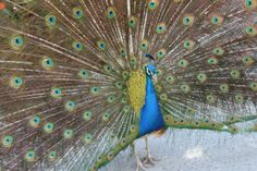 Peacock (introduced species) - L.A. County Arboretum and Botanic Garden