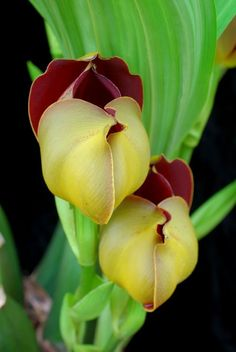 Anguloa x ruckeri Orchid