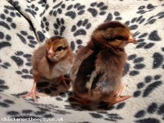 Welsummer Chicks for Sale (Large Fowl) (Auction ID: 1132, End Time : 18 Mar. 2013 15:38:34) - Chicken Or The Egg