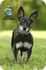 Adopted  Overcrowded kill shelter  Knoxville, TN - Chihuahua Mix. Meet Rex a Dog for Adoption.