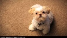 Cutest Puppy Overload | Video • APlaceToLoveDogs.com • dog dogs puppy puppies cute doggy doggies adorable funny fun silly photography