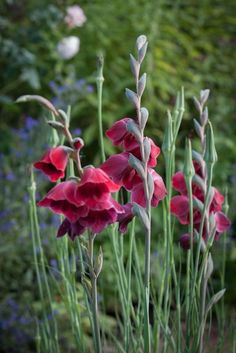 Gladiolus papilla 'Ruby' in the cottage garden at Allt-y-bela.