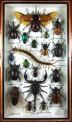 Real Display Insect Taxidermy Big Set in Wood Box Collectible Gift FS gphsy 01