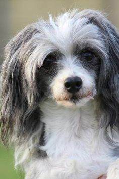 `Website for organization helping pets and owners. Chinese Crested Powder Puff, Chinese Crested Dog, I Love Dogs, Puppy Love, Animals Beautiful, Cute Animals, Photo Animaliere, Pet Search, Small Breed