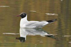 Specii de păsări acvatice ce iernează ... Birds, Places, Animals, Animales, Animaux, Bird, Animal, Animais, Lugares