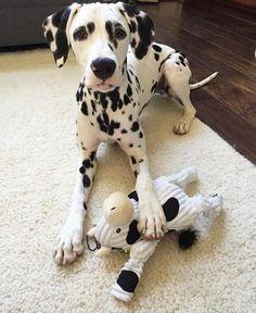 Moo.  #jackson #dalmatian #dalmatianpuppy #moocowstuffy #hugglehounds #lovemyspots #dogoftheday #dogsofinstaworld by jackson_the_dalmatian #lacyandpaws