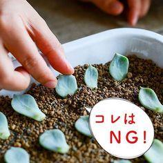 聞き手・文・写真 スタッフ二本柳多肉植物専門ストア「solxsol(ソルバイソル)」の松山美紗さんに教わり、初心者でもはじめられる基本的な多肉の育て方をお届けしています。第4話は、育てている過程でうっ Propagating Succulents, Planting Succulents, Planting Flowers, Green Garden, Summer Garden, Foliage Plants, Cactus Plants, Succulent Arrangements, Succulent Terrarium