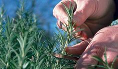 How to propagate Rosemary from cuttings. I love the smell of rosemary! Farm Gardens, Outdoor Gardens, Small Gardens, Rosemary Plant, Propagating Rosemary, Grow Rosemary, Container Gardening, Gardening Tips, Vegetable Gardening