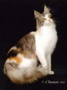 Turkish Angora Cats For Sale - Cats