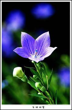 7월 도라지꽃/ききょうの花
