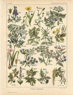 C1900 Poisonous Toxic Plants Fruit Flowers Antique Litho Print Larousse | eBay