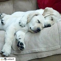 #GPRepost#reposter#notetag @wittier9 via @GPRepostApp ======> @wittier9:@Regrann from @thelablove - Get your Lab T-Shirt before Christmas by clicking on the link in my bio (profile)@thelablove from mdajperry on Pinterest #labradorpuppy #labradorpuppies #labpuppy #labpuppies #labsofinstagram #labrador #labradorretriever - #regrann
