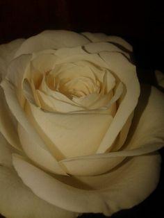 Pesona mawar putih :*