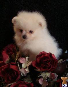 Teacup Pomeranian puppy.